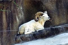 Dall Sheep, San Diego Zoo (Animal People Forum) Tags: animals zoo sheep sandiego horns captive sandiegozoo mammals dall captivity dallsheep