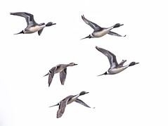 Northern Pintail (Jan Crites) Tags: winter bird nature outdoors nikon wildlife ducks iowa avian northernpintail lilylake d610 amanacolonies jancritesphotography nikon200500mm