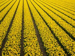 It was all so yellow (Martin van Duijn) Tags: flower holland netherlands season bulbs bas pays daffodils hollanda niederland hillegom