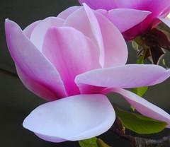 Magnolias (peggyhr) Tags: pink flowers canada vancouver bc magnolias thegalaxy peggyhr heartawards thegalaxyhalloffame thelooklevel1red l~1passionforflowers l~3passionforflowersgreen l~4passionforflowersblue~ l~2passionfortheflowers dsc02936a