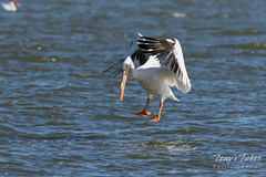 American White Pelican fishing sequence - 6 of 20