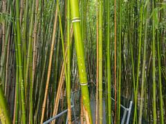 _C122651-web-18.jpg (laurenz.lanik) Tags: vienna bamboo botanicgarden bambus botanischergarten