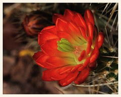 Claret Cup (gauchocat) Tags: echinocereus cactusflower