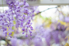 Wisteria  (sigma9988) Tags: flowers color 50mm purple bokeh taiwan f18    wisteria danshui  oreston gorlitz meyeroptik