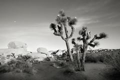 Moon over Joshua Tree (Robert_Brown [bracketed]) Tags: park blackandwhite bw hot tree rock photo desert joshua dry national arid robertbrown