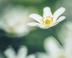 it must go on (StadtKind - capture the Bokeh) Tags: leica white flower macro germany deutschland europa europe dof bokeh doubleexposure makro schrfentiefe pastell allgu buschwindrschen kempten lowpov bokehlicious leitzwetzlarelmaritr9028 olympusem10markii
