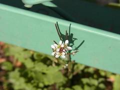 タネツケバナ (nofrills) Tags: shadow white flower macro floral spring weeds weed flora tiny roadside whiteflowers bittercress タネツケバナ wavybittercress