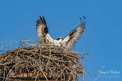 Osprey returns from Home Depot sequence - 16 of 27