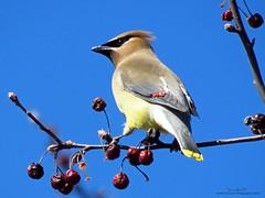 Cedar Waxwing IMG_4984 (Jennz World) Tags: sky ontario canada bird animal berries cedarwaxwing brantford lornepark jennifermlivick