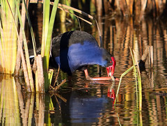 Purple Swamphen (NathanaelBC) Tags: lake bird water pond native australian canberra cbr