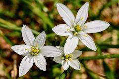 Under Foot (brev99) Tags: flowers blossoms ground tulsa springflowers whiteflowers woodwardpark d7100 nikviveza topazdenoise tamron180f35 topazdetail cacorrection viewnx2