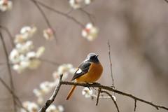 ジョウビタキ (myu-myu) Tags: bird nature japan nikon explore d800 梅 japaneseapricot wildbird 野鳥 ウメ ジョウビタキ phoenicurusauroreuspallas afsnikkor300mmf4epfedvr
