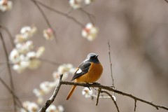 (myu-myu) Tags: bird nature japan nikon explore d800  japaneseapricot wildbird    phoenicurusauroreuspallas afsnikkor300mmf4epfedvr