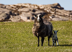 new life (huddart_martin) Tags: sheep sau lamb villsau