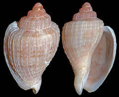 Exquisite harp-shell Austroharpa exquisita (Simon Grove (TMAG)) Tags: australia newsouthwales mollusca gastropoda harpidae tasmanianmuseumandartgallery tmagzoology austroharpa