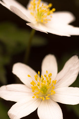 _HAT1277 (Apodidae) Tags: germany de flora planten bloemen tbingen badenwrttemberg