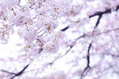 sakura (maaco) Tags: pink flowers flower photoshop spring nikon adobe cherryblossom sakura nikkor f28 lightroom 70200mm 2016 d7000 afsnikkor70200mmf28gedvr