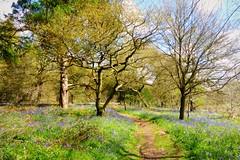 Piles Coppice (skoop102) Tags: bluebells woodland spring woods woodlands coventry bluebell warwickshire woodlandtrust