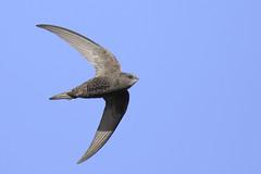 Swift (Kentish Plumber) Tags: uk sky bird nature animal insect flying kent nikon europe wildlife flight swift southeast nikkor birdwatcher southernengland stodmarsh apusapus nbw stourvalley bwg birdwatchinggroup 20005000mmf56