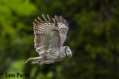 GG10 (Sam Parks Photography) Tags: trees wild summer usa bird nature animal forest rockies rodent fly flying inflight spring wings woods nps wildlife unitedstatesofamerica ghost hunting feathers meadow aves raptor northamerica rockymountains hunter prey wyoming greatgrayowl soaring phantom predator carnivorous naturalworld jacksonhole avian soar hunt tetonrange parkservice strigiformes grandtetonnationalpark predatory strixnebulosa predation gye mountainous carnivora strigidae gtnp greateryellowstoneecosystem horizontalorientation carniore