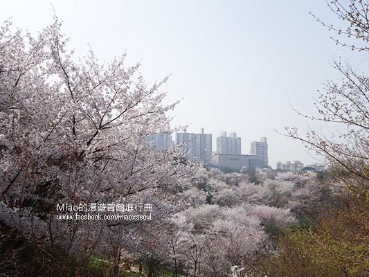 안산공원벚꽃15