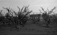 Orchard (bingley0522) Tags: sunnyvale diafine tmax400 olsons voigtlanderheliar75mmf25 epsonv500scanner canonivsb2 apricotorchard siliconvalleyusedtolooklikethis backthenitwassantaclaracounty