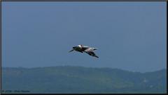 Pelican (2.2 Million + views!!! Thank you!!!) Tags: canon eos pelican jamaica falmouth 70200mm ef70200f4l 70d pspx8 paintshopprox8