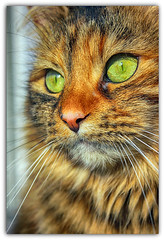 My green eyed girl (Denni1980) Tags: green cat ginger whiskers greeneyes xena gingercat catcloseup catseyes catsnose longhairedcat