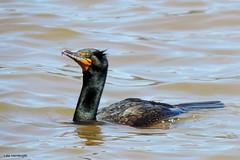 Double-crested Cormorant (Lois McNaught) Tags: bird nature duck spring wildlife waterbird diving avian doublecrestedcormorant aquaticbird cormotant hamiltonontaiocanada