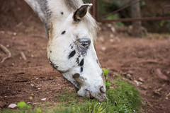 Eating grass (Nuria Ocaa) Tags: friends horses horse mountain nature beauty hair walking spring couple moments bokeh details sunday 60mm equine springtime altemporda emporda equidae horseportrait 60d