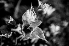 Tristesse printanire 2 (Pierre Fauquemberg) Tags: blackandwhite bw nature fleurs nikon noir noiretblanc sigma sombre printemps spleen plantes tristesse douleur lesfleursdumal phmre monotonie sigma35mmart sigmaart35mm14 pierrefauquemberg