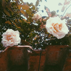 Blooming (maisacosta808) Tags: flowers flores nature rose nude soft blossom natureza rustic rosa bloom blooming bege rstico