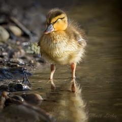 Soakin up the Sun (mLichy911) Tags: seattle portrait baby cute nature canon duck spring nap fuzzy wildlife sleepy wa mallard pnw 500f4 7dmarkii