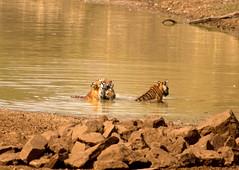Maya With Cubs (S u m a n G o s w a m i) Tags: affection tigercubs tadoba tatr nikond7000