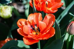 Tulips (irvingwhitney) Tags: new york nyc west garden spring community tulips side upper westside manhatten flowes wscg