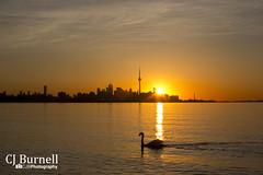 Morning Stroll (cjb_photography) Tags: morning orange sun lake toronto nature sunshine silhouette skyline outdoors swan sunny calm lakeontario torontolife torontophoto torontoclicks