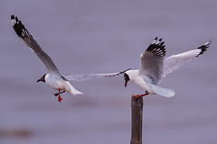 , Brown-headed Gull, Larus brunnicephalus (Emu Alim) Tags: brownheadedgull larusbrunnicephalus