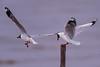 খয়রামাথা গাঙচিল, Brown-headed Gull, Larus brunnicephalus (Emu Alim) Tags: brownheadedgull larusbrunnicephalus খয়রামাথাগাঙচিল