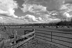 Wild Horses in black-and-white - Herd - 2016-012_Web (berni.radke) Tags: horse pony herd nordrheinwestfalen colt wildhorses foal fohlen croy herde dlmen feralhorses wildpferdebahn merfelderbruch merfeld przewalskipferd wildpferde dlmenerwildpferd equusferus dlmenerpferd dlmenpony herzogvoncroy wildhorsetrack