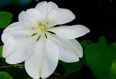 Victoria (Pufalump) Tags: white nature beautiful smiling happy petals funny tears quiet sad theatre rip clematis shy laughter brilliant songs intelligent victoriawood dinnerladies fredaandbarry