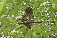barred owl (loweryjes) Tags: columbus ohio tree bird spring day central may owl roosting barred roost riparian strix strigiformes varia strixvaria