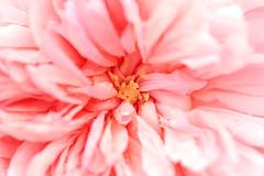 If I could paint... / Da sam slikar (Gordana AM) Tags: pink canada painterly flower macro rose horizontal closeup vancouver garden photography photo petals soft photographer bc britishcolumbia centre bloom intimate gentle portcoquitlam gordana lowermainland lepiafgeo wwwgordanaphotocom gordanamladenovic
