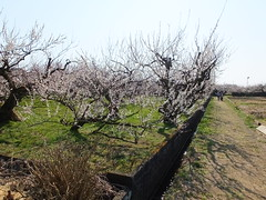 16i5342 (kimagurenote) Tags: apricot ume  japaneseapricot  prunusmume sogabairin   odawarakanagawa