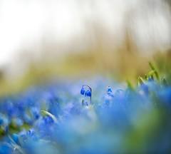 Aqua festival (Franci Van der vyver (Carmen Tulum)) Tags: blue festival bluebells spring crowd snowdrops scilla squill scillasiberica siberiansquill bluets