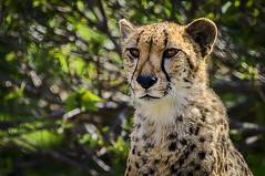 Cheetah-Close-up (jhambright52) Tags: ngc cheetah coth specanimal cheetahcloseup coth5 malecheetahonwatch