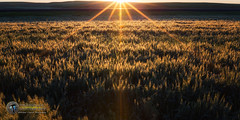 Palouse Sunrise (Theaterwiz) Tags: green washington palouse nxnw thepalouse theaterwiz michaelcriswellphotography
