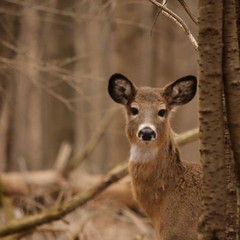 Stare but don't scare (Mustafa Canbolat) Tags: nature woods deer rochester whitetail rochesterny