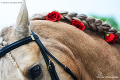Ottavia Serafini (Ottavia Serafini) Tags: red horses horse eye beauty rose nikon nikkor cavalli cavallo braid nikond5100