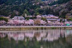(DSC_3246) (nans0410(busy)) Tags: reflection japan river cherry outdoors spring scenery kyoto stream blossom arashiyama   sakura  kansai     togetsukyo   katsurariver   kinkiarea