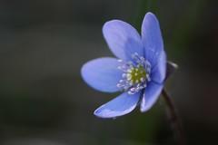Leberblmchen (Caora) Tags: balticsea april rgen ostsee ruegen liverwort pennywort leberblmchen anemonehepatica kidneywort